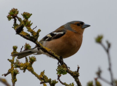 picture of chaffinch on a tree branch