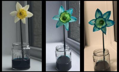 Daffodil Magic