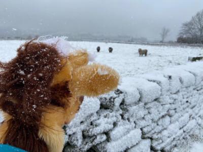 Sheep running towards Harold from distance 1