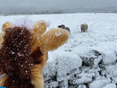 Sheep running towards Harold from distance 2