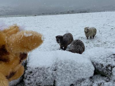 Sheep running towards Harold from distance 3